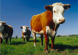 Sustainable-beef-cattle-cows