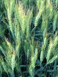 Ripening_wheat