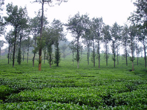 Silver_oak_and_black_pepper_in_a_tea_orchard_waynad_india