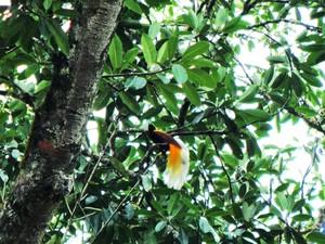 Paradisaea_minor_lesser_bird-of-paradise_c_rahmat_for_tbi