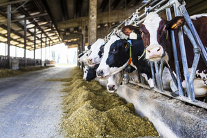 Cow_dairy_release_small