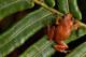 Macaya-breast-spot-frog-001