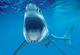 Shark-csrlive