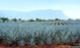 Csrlive_agave